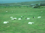 IMG_4179_CliffOfMoher_sheep.JPG